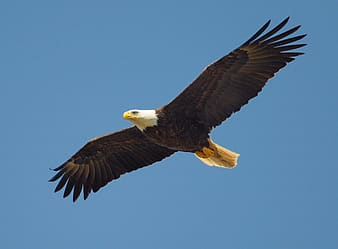 Bald eagle on mid-air