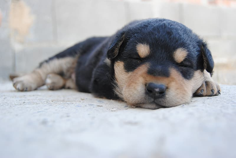 Black and brown Rottweiler puppy sleeping