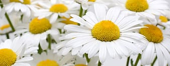Shallow focus photography of daisy flowers