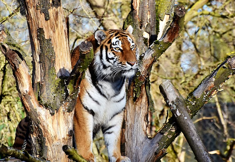 Selective focus photography of tiger on tree