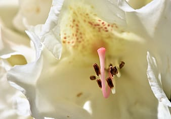 White lily flower in macro photography
