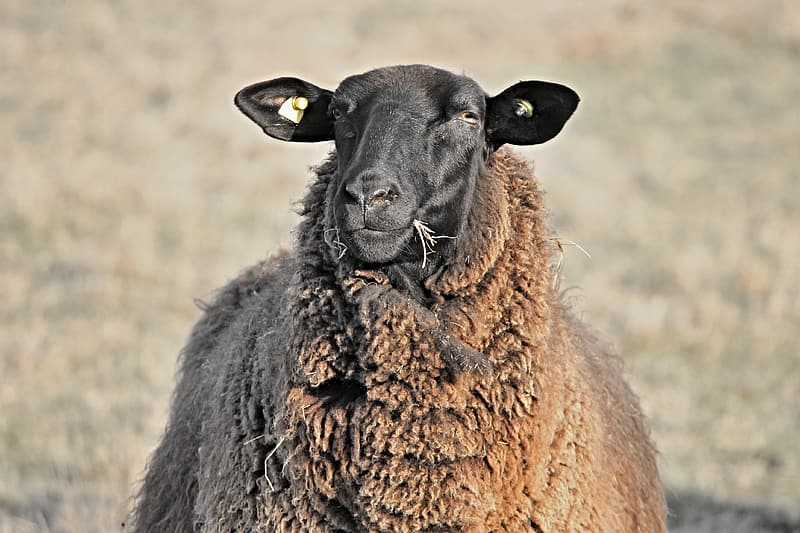 Selective focus photography of brown sheep