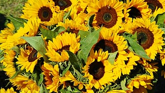 Sunflowers during day timer