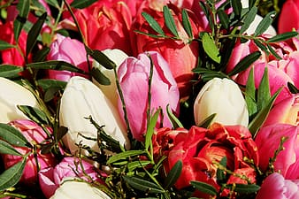 Pink and white tulips bouquet