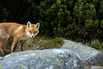 Tan fox near rock