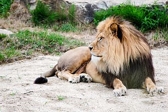 Brown and black lion