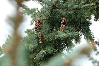 Selective focus photography of green pine tree