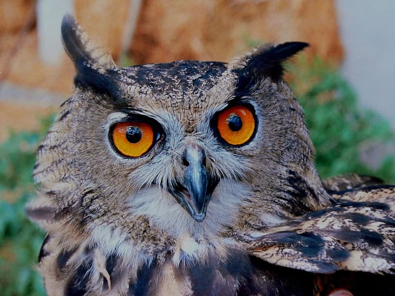 Gray and black owl