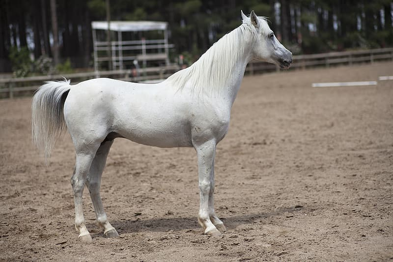 White horse standing on field