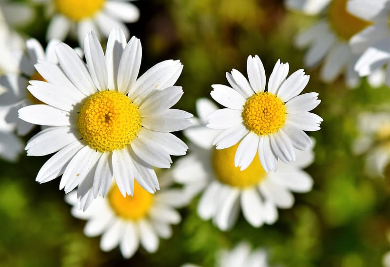 Closeup photo of white-and-yellow daisy flowers