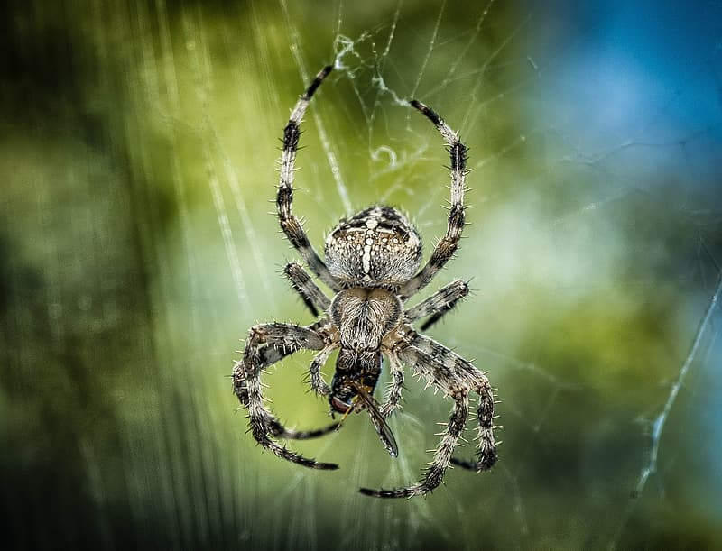 Black and gray barn spider devoured an insect in closeup photo