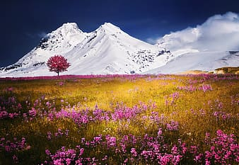 Pink petaled flower field near ice covered mountain wallpaper