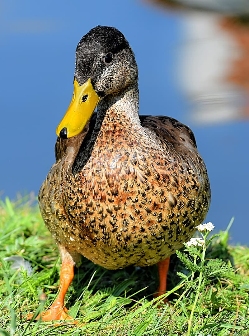 Brown duck on green grass during daytime