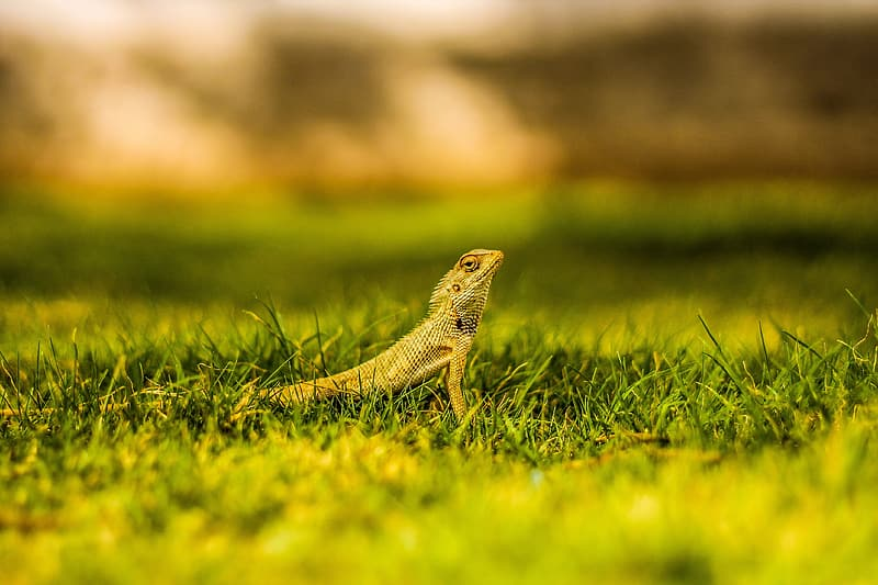 Brown and black lizard on green grass during daytime