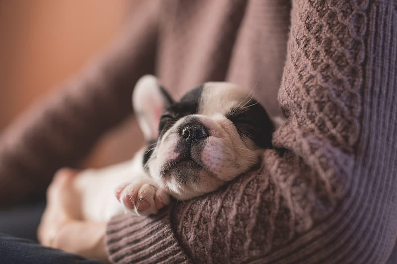 Person wearing pink sweater white and black French bulldog puppy sleeping on his shoulder