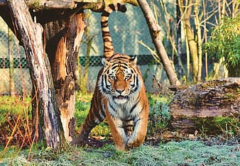 Tiger walking on green grass during daytime