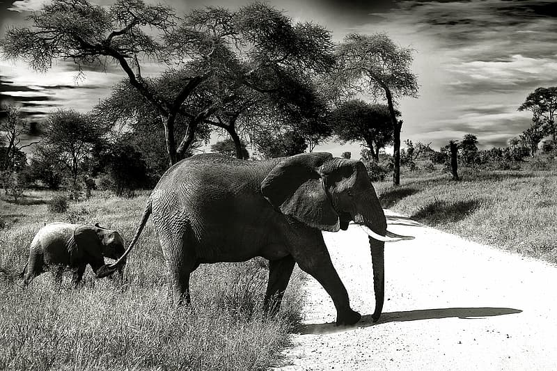 Gray elephant with calf passing through road