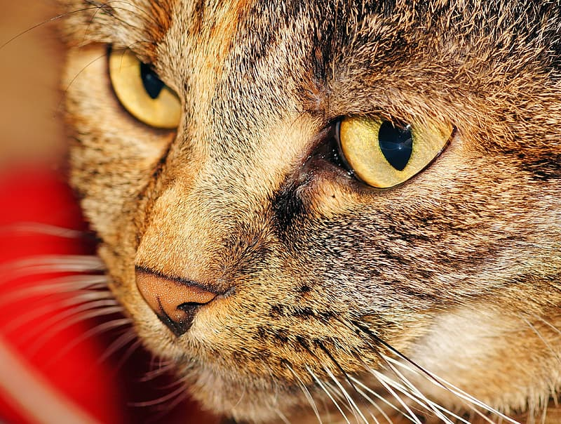 Macro photography of brown Tabby cat