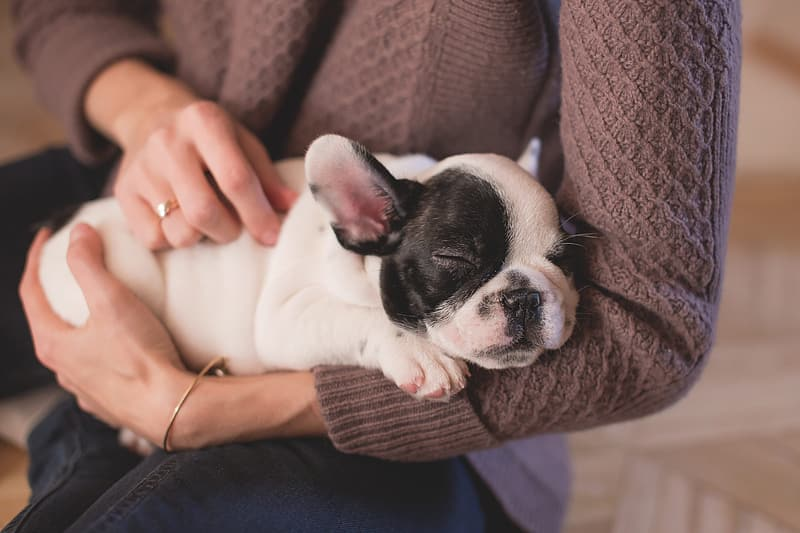Person holding white and black french bulldog puppy