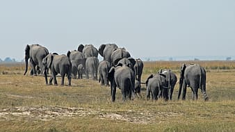 Group of elephant walking on grass