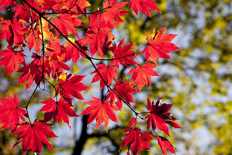 Closeup photo of red maple tree