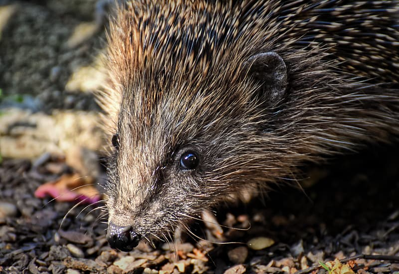 Brown hedgehog on brown and white ground during daytime
