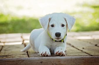 Yellow Labrador Retriever puppy on wooden surface in selective focus photography