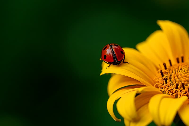 Red ladybug perching on yellow flower