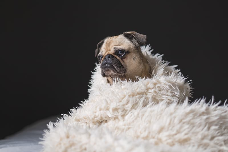 Fawn pug covered with white fur blanket