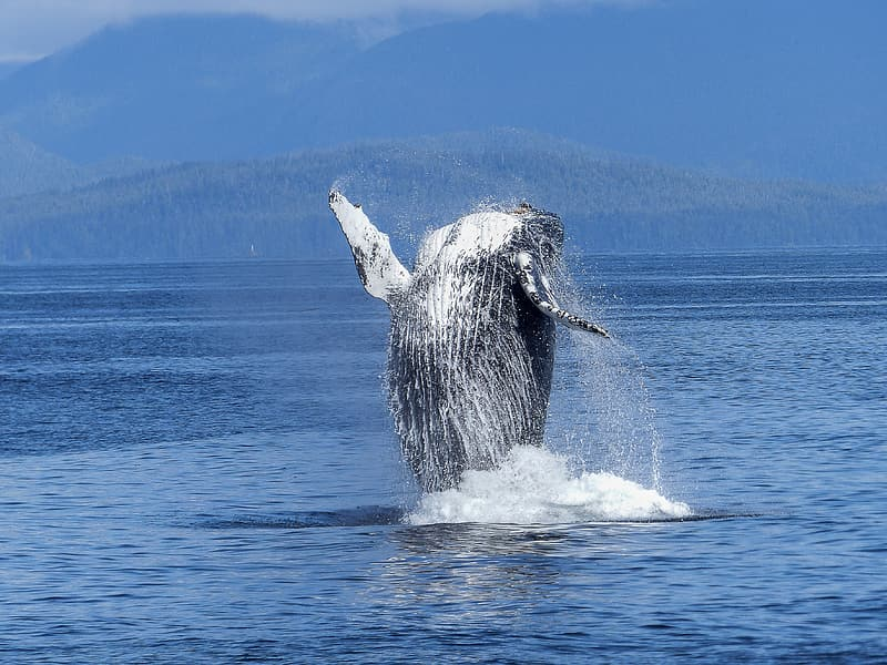 Black and white whale