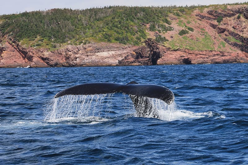 Black whale diving on body of water during daytime