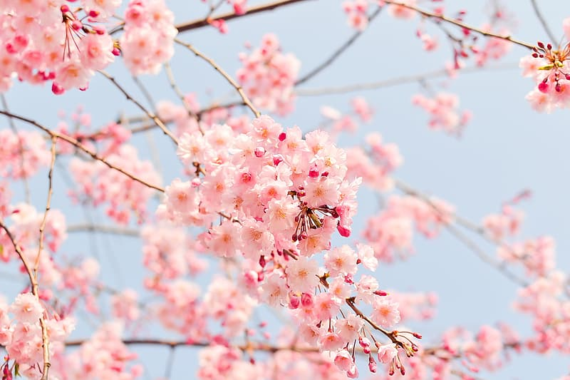 Macro shot photography of cherry blossoms