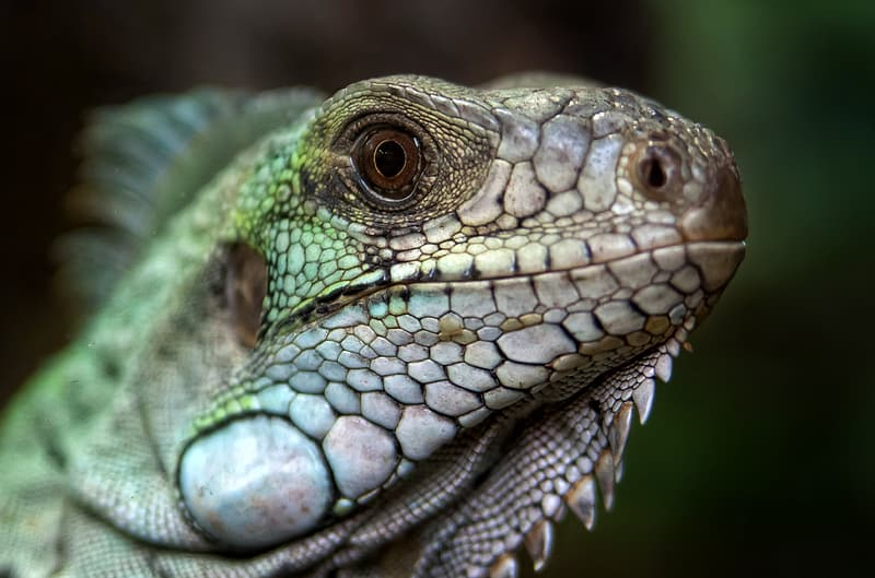 Close-up photo of green and brown lizard