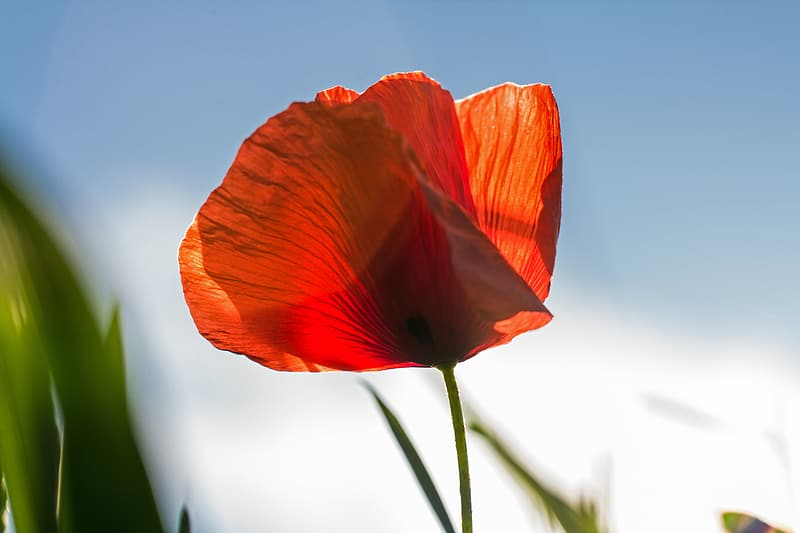 Closeup photography of red poppy