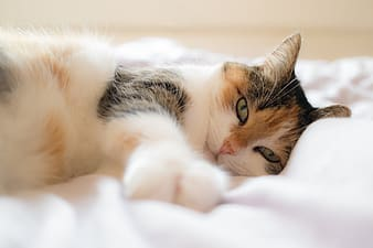 White brown and black cat lying on white textile