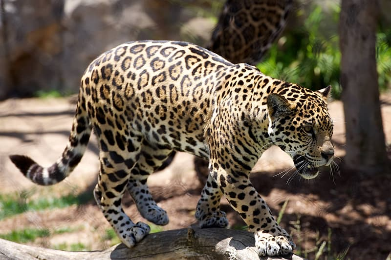 Yellow, black, and brown leopard walking near tree during daytime