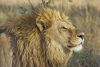 Close photo of brown lion on grass field