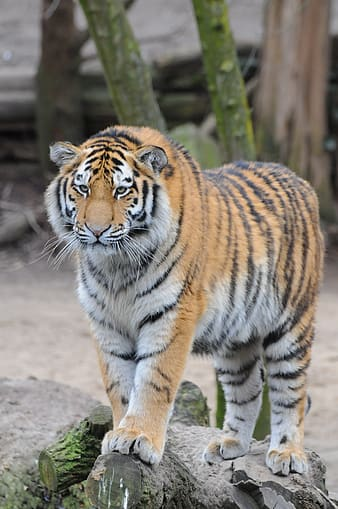 Selective focus photography of Bengal tiger standing on rock