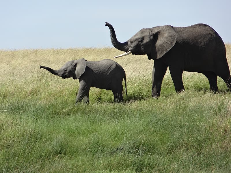 Two gray elephants on green grass field