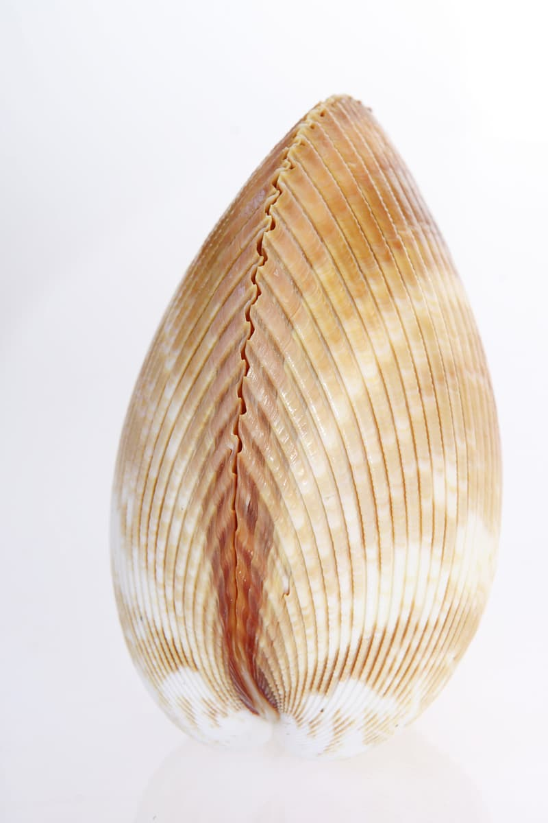 White and brown shell on white surface