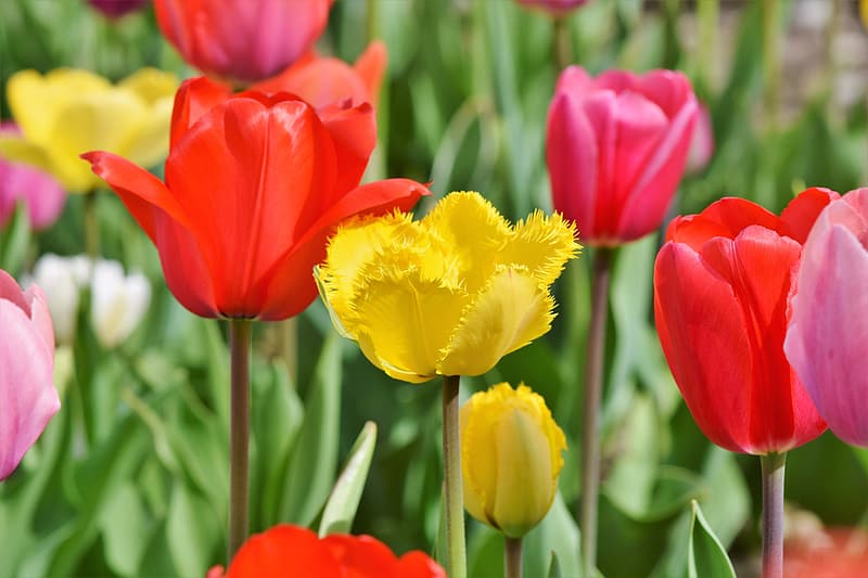 Yellow, red, and purple tulips in bloom at daytime