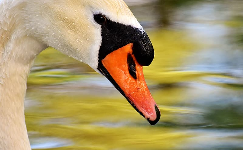 Close view of a Mute Swan