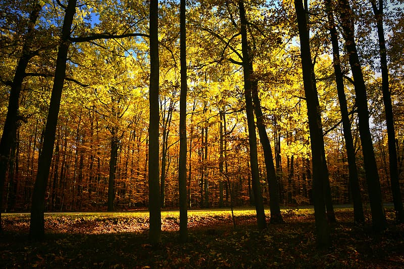 Brown trees with yellow leaves