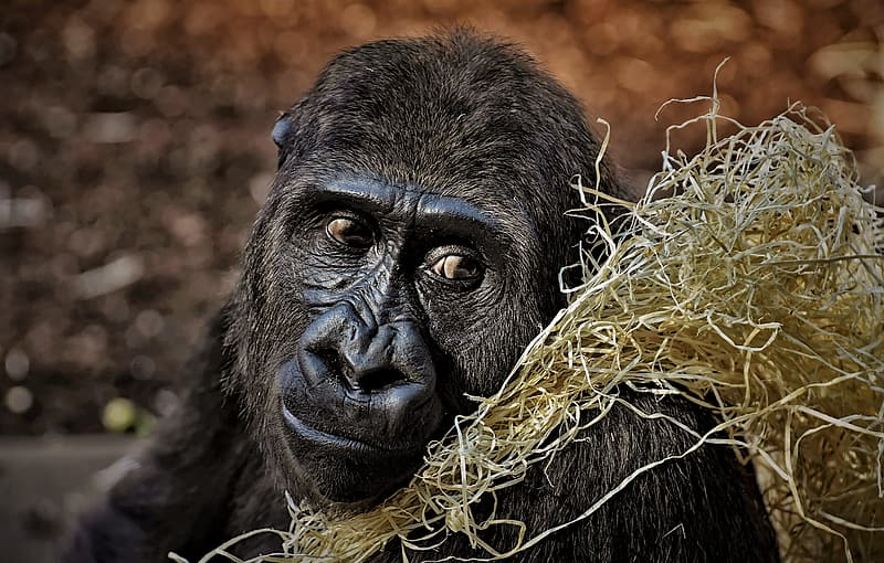 Black gorilla with yellow scarf