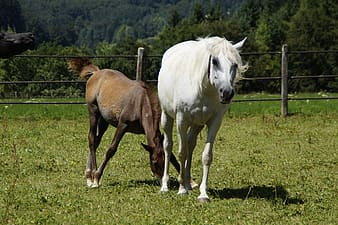 Wildlife photography of two horse on yard