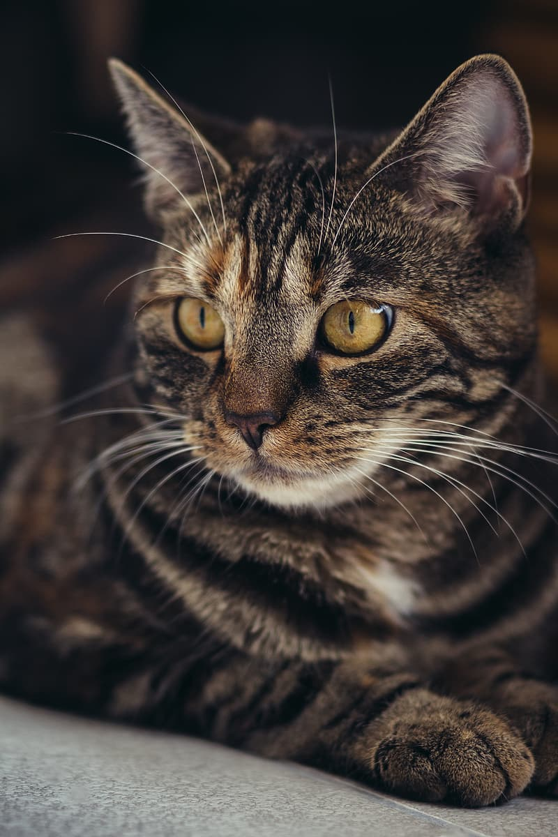 Closeup photography of brown tabby cat