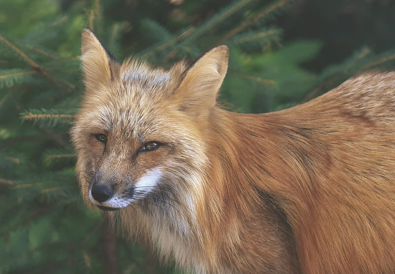 Shallow focus photography of brown fox