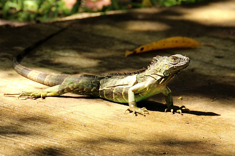 Selective focus photography of green and brown monitor lizard