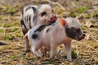 Two white-and-black piglets