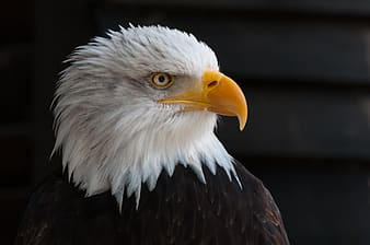 White and brown eagle
